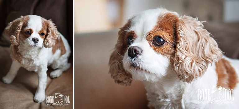 Dog Portrait Photography | Cavalier King Charles