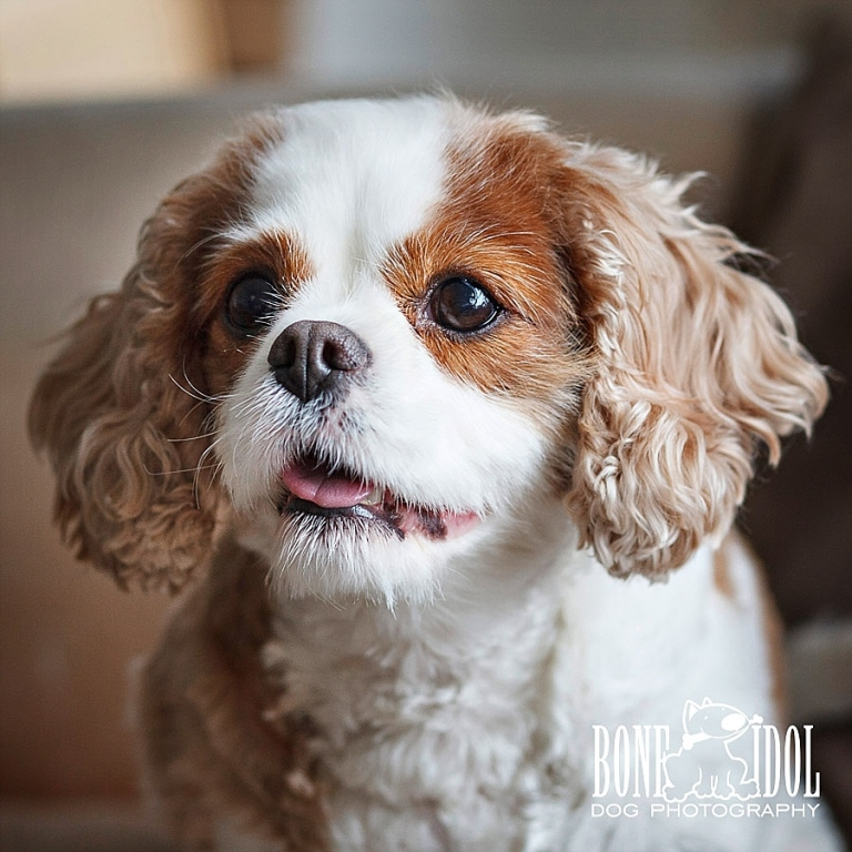 Cavalier King Charles Spaniel Photography